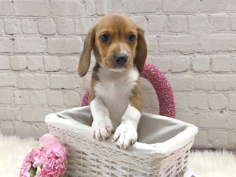 Beagle-Male-Red / White-2969595-Petland Pickerington