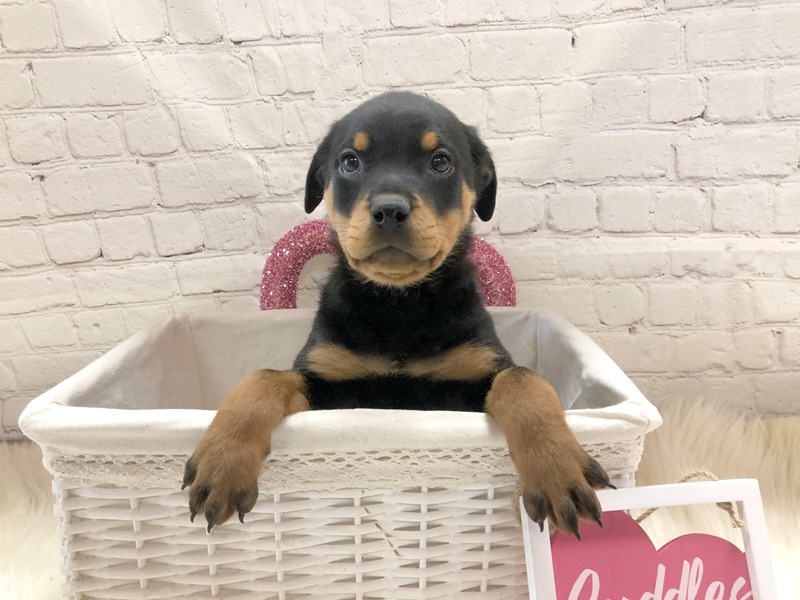 Rottweiler-Female-Black, tan and white-2963666-Petland Pickerington