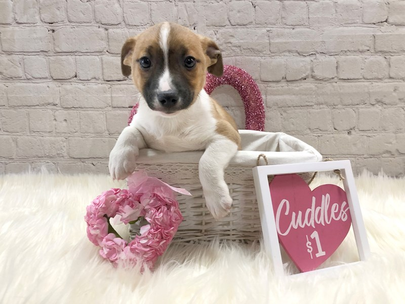 Jack Russell Terrier-Male-Red / White-2973962-Petland Pickerington