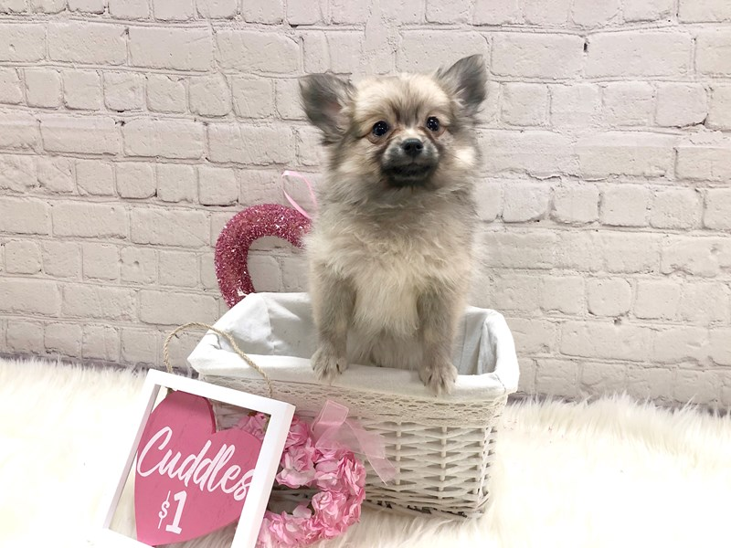 Pomeranian-Female-Orange Sable-2982746-Petland Pickerington