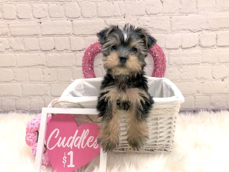 Yorkshire Terrier-Male-Black / Tan-2982727-Petland Pickerington