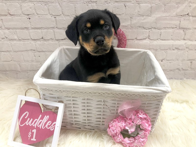 Rottweiler-Female-Black and rust-2990425-Petland Pickerington