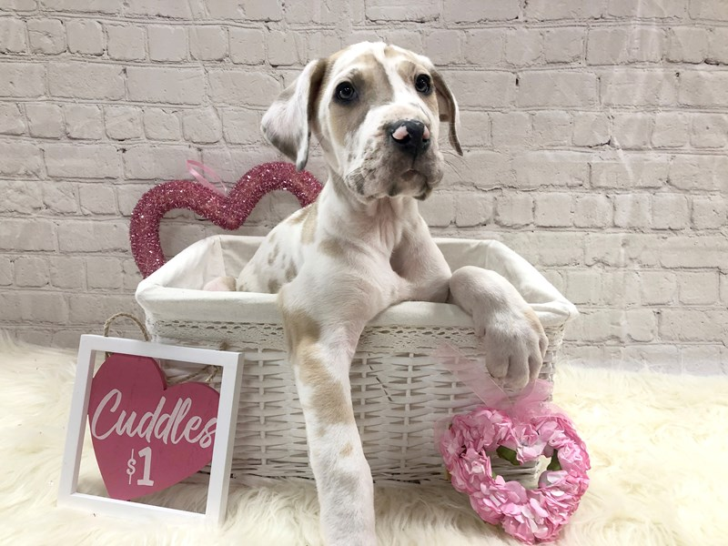 Great Dane-Male-Fawnequin-2990838-Petland Pickerington