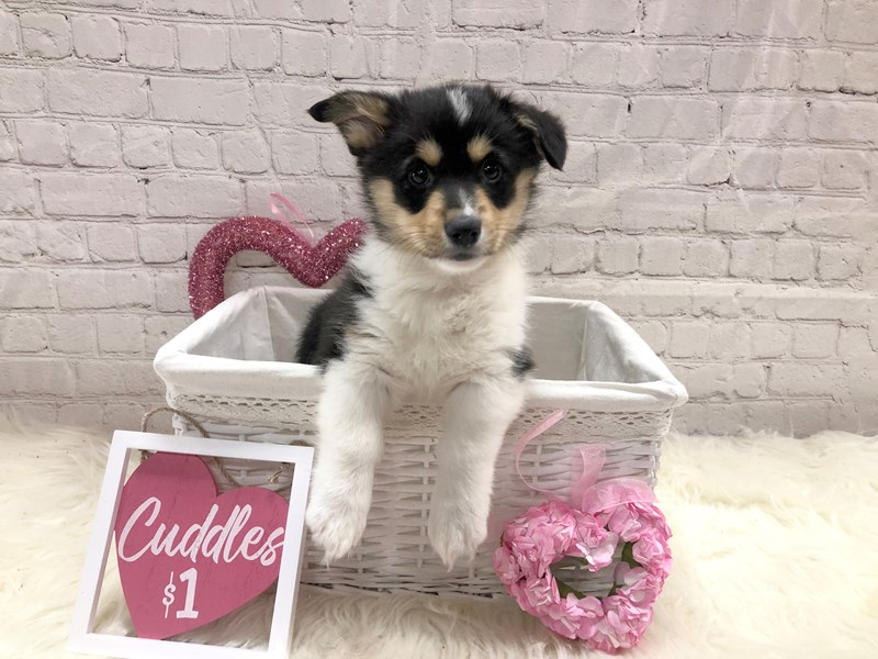 Pembroke Welsh Corgi-Female-Black White / Tan-2990793-Petland Pickerington