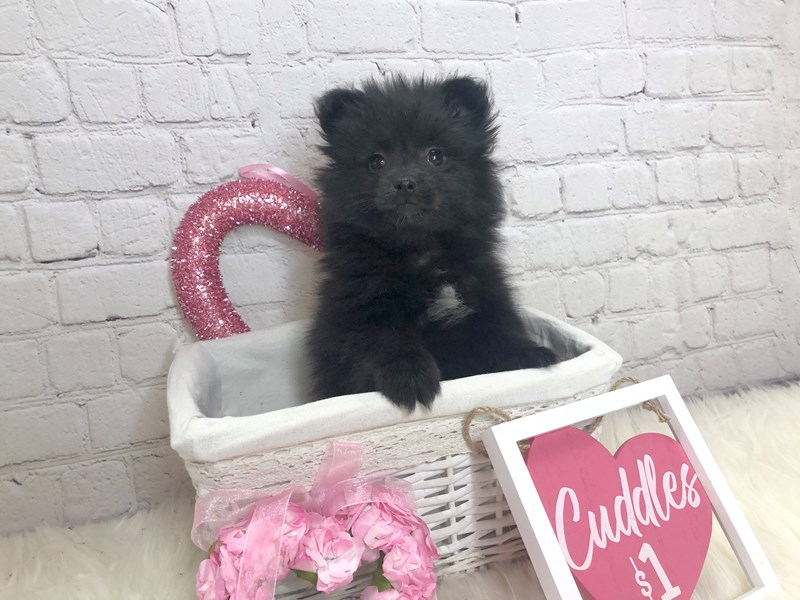Pomeranian-Female-Black-2999610-Petland Pickerington
