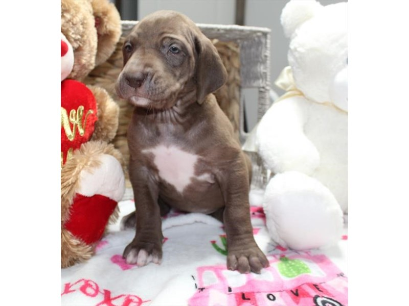 Great Dane-Female-Chocolate-3027244-Petland Pickerington