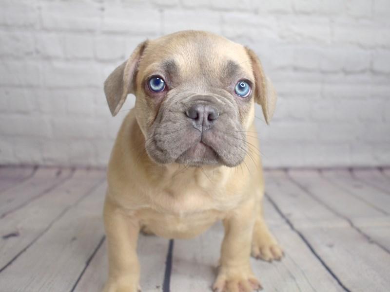 French Bulldog-Male--3035678-Petland Pickerington