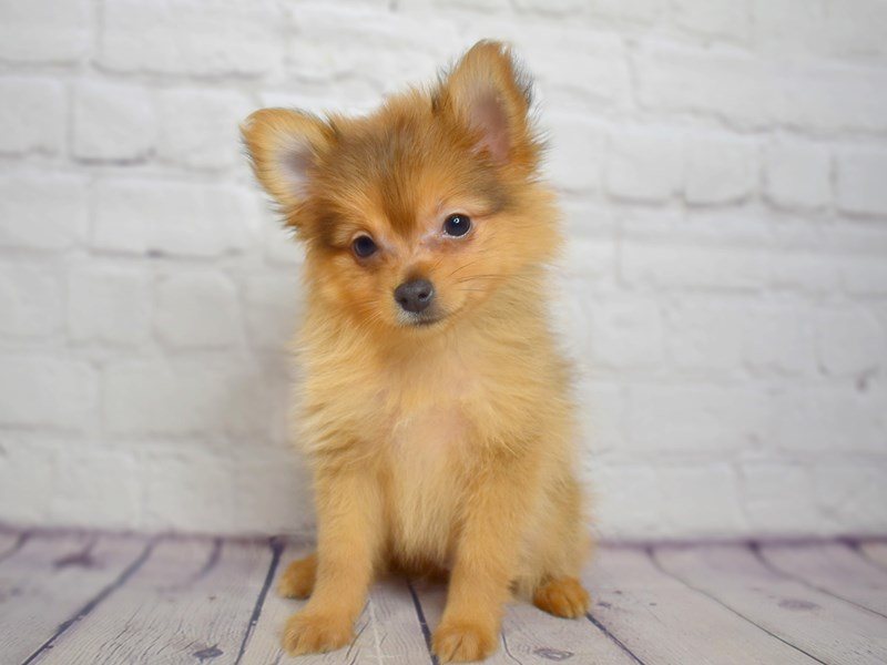 Pomeranian-Male-Red Sable-3036557-Petland Pickerington