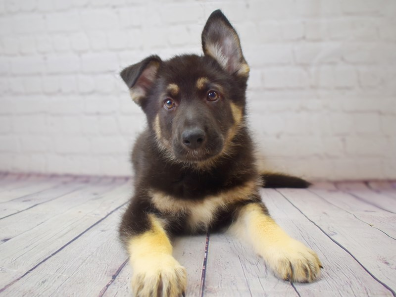 German Shepherd-Female-Black / Tan-3049336-Petland Pickerington