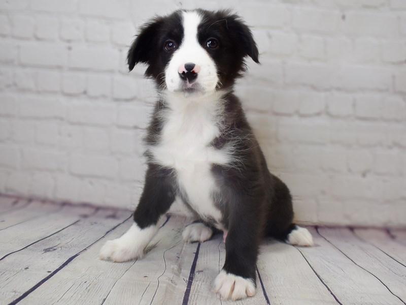 Australian Shepherd-Male-Black-3049334-Petland Pickerington