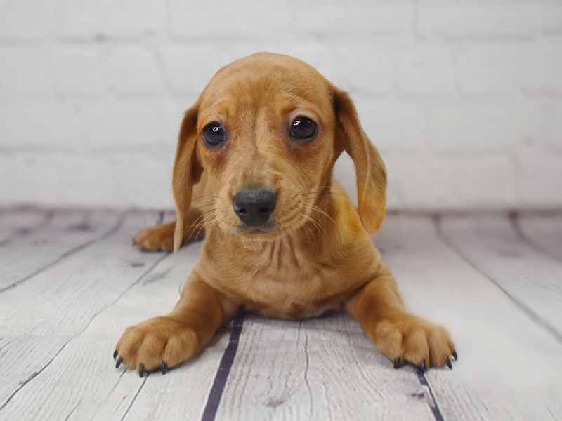 Dachshund-Male-Red-3049337-Petland Pickerington