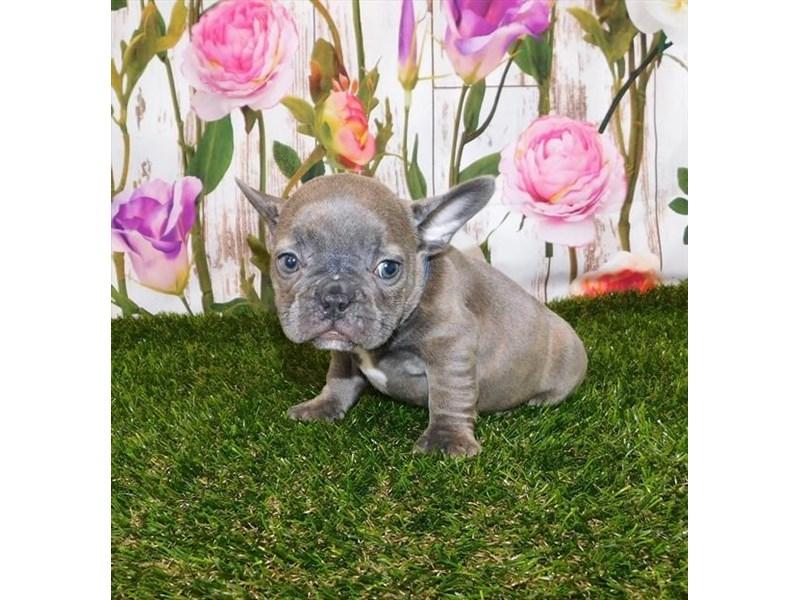 French Bulldog-Female-Blue Brindle-3057013-Petland Pickerington