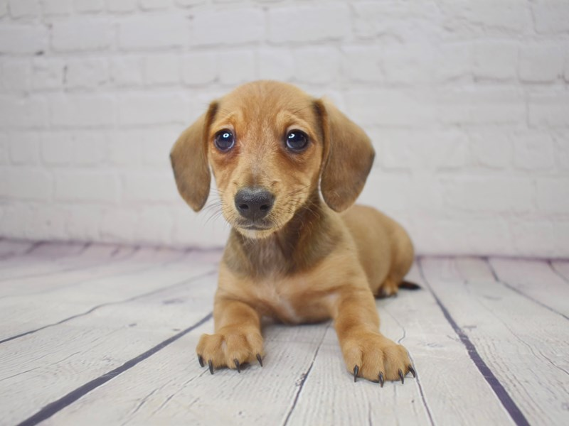 Dachshund-Female-Red-3045498-Petland Pickerington