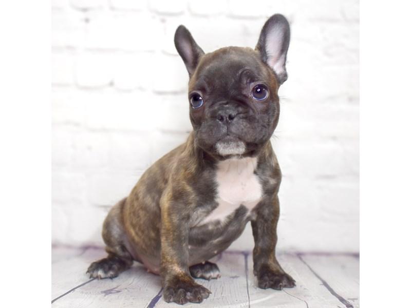 French Bulldog-Female-Brindle-3057021-Petland Pickerington