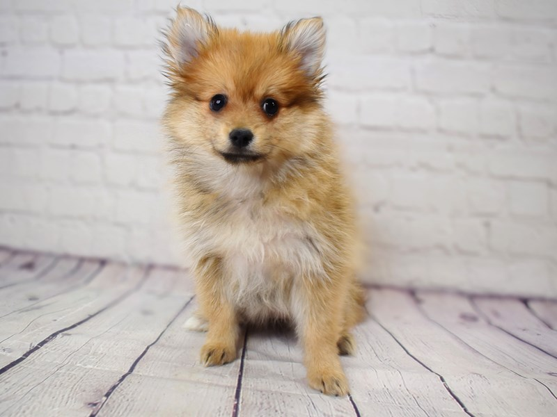 Pomeranian-Female-Cream Sable-3071441-Petland Pickerington