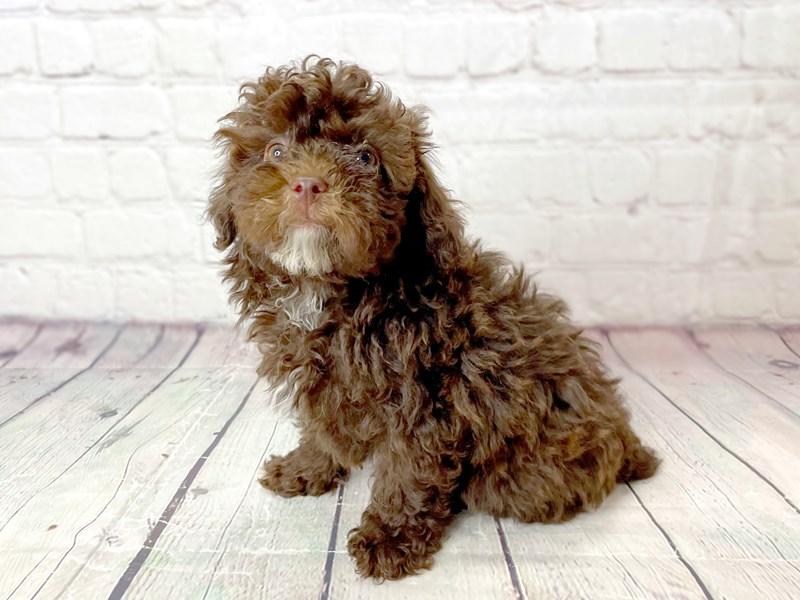 Miniature Poodle-Male-Brindle-3173927-Petland Pickerington
