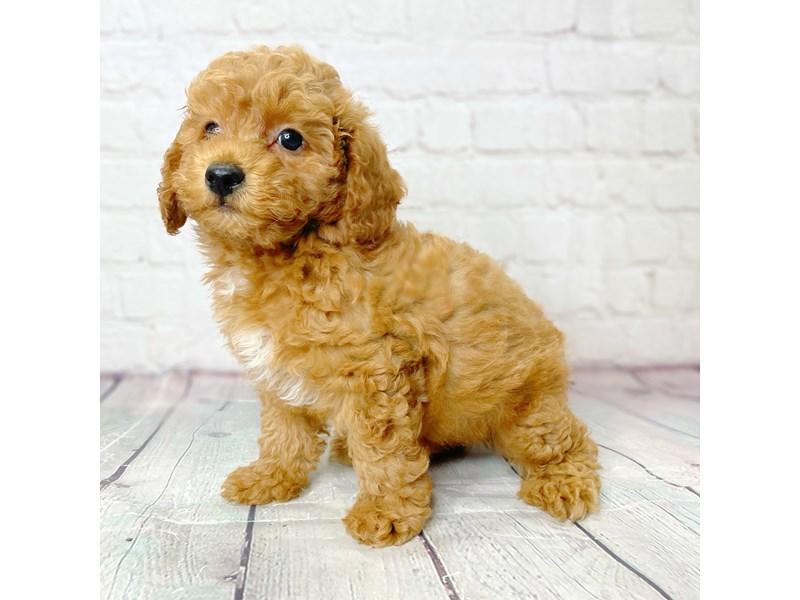 Miniature Poodle-Male-Red-3220758-Petland Pickerington