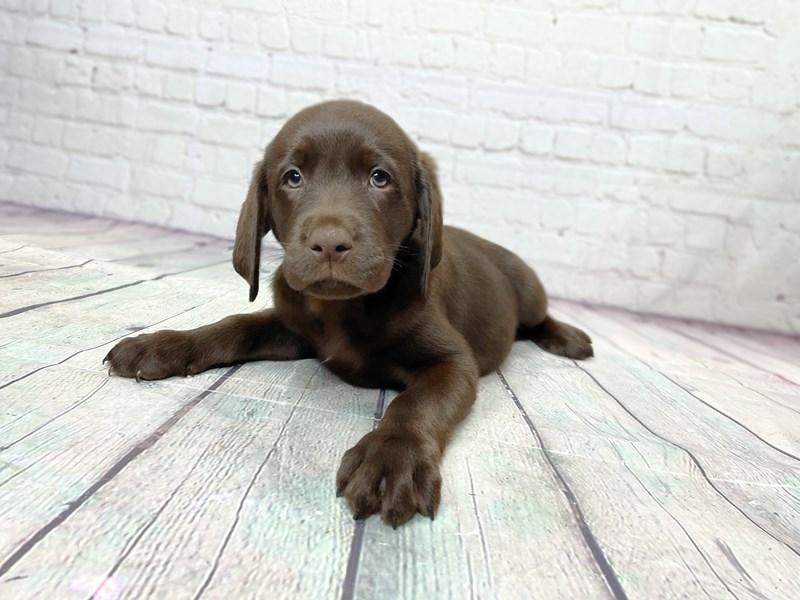 Labrador Retriever-Female-Chocolate-3237318-Petland Pickerington