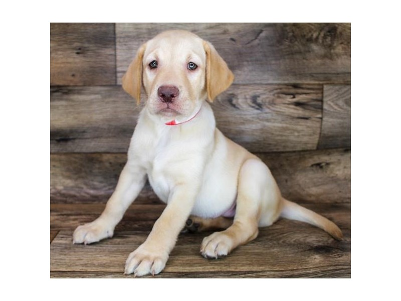 Labrador Retriever-Male-Yellow-3278639-Petland Pickerington