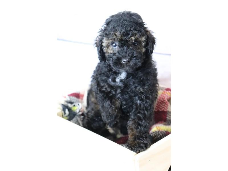 Miniature Poodle-Male-Rd Sbl-3251995-Petland Pickerington