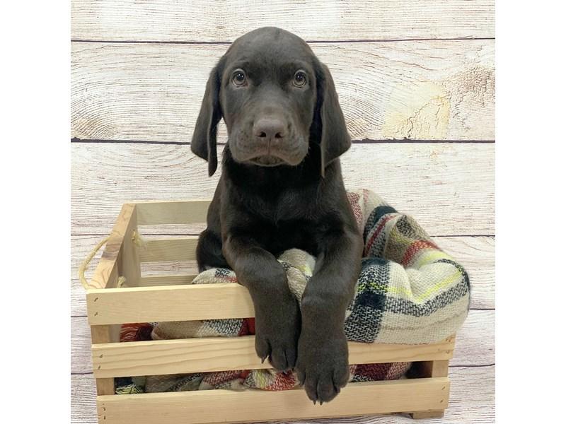 Labrador Retriever-Male-Chocolate-3321942-Petland Pickerington